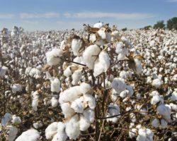 Wissenswertes: Alles rund um die Baumwolle