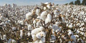 Cotton-teaser